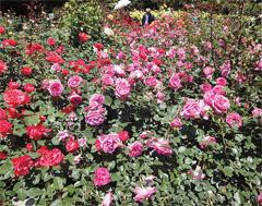 さまざまなバラが楽しめる井頭公園バラ園