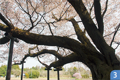 大桜(ヤマザクラ)