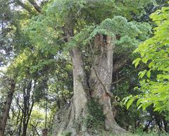 樹齢800年以上とみられる「真上のケヤキ」